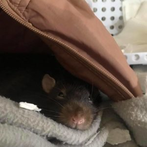 Rat Cage Bedding