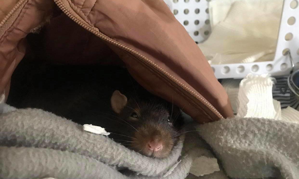 Rat Cage Bedding
