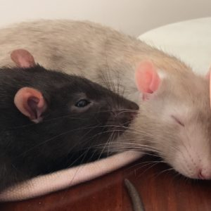 Can Pet Rats Live Alone?