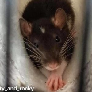 Guide to pet rat nail care