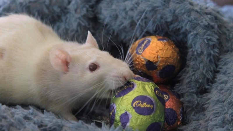 Read this before giving your pet rat chocolate