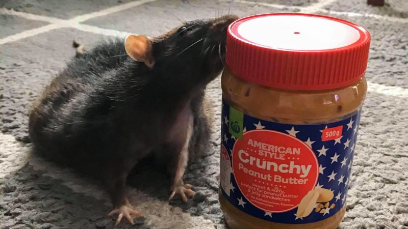 Can Rats Eat Peanut Butter?