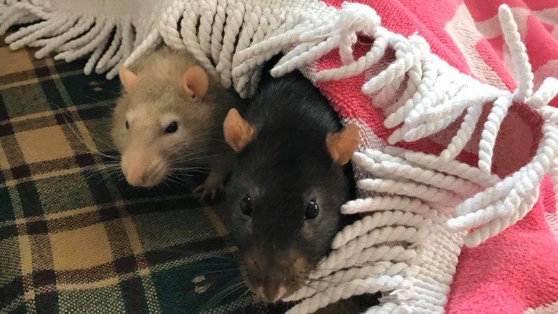 Guide to Taming, Gaining Trust and Bonding with your Pet Rat