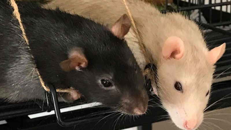 A Guide to Understanding Pet Rat Body Language & Behaviour